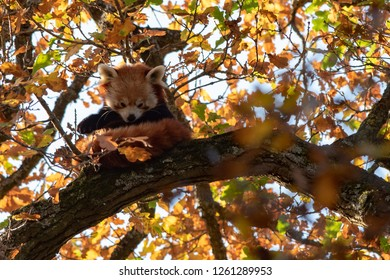 A red panda camouflaged in the tree canopy