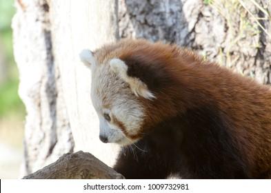 Red Panda - Captivity