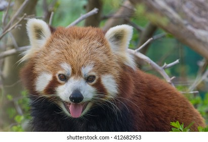 Red panda closeup series