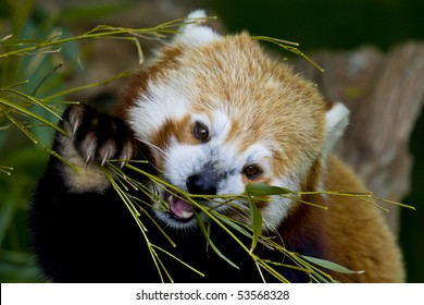 Red Panda eating a bamboo shoot using its claws