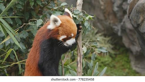 Red panda eating bamboo tree