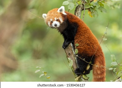 Red panda eating on the tree