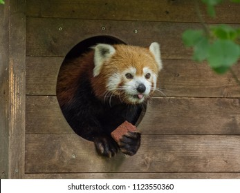 Red panda eating in a ZOO
