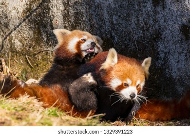 A red panda ensnares a female