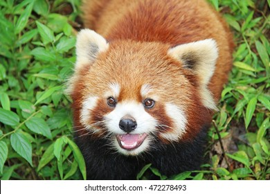 The Red Panda, Fire fox in Chengdu, China