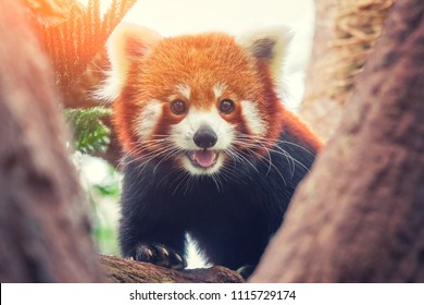 Red Panda, Firefox or Lesser Panda (Ailurus fulgens) on the tree