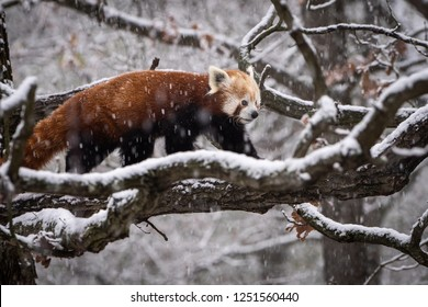 Red Panda, Firefox or Lesser Panda (Ailurus fulgens) in heavy snowfall.