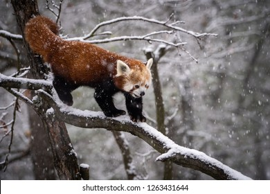 Red Panda, Firefox or Lesser Panda (Ailurus fulgens) in heavy snowfall.