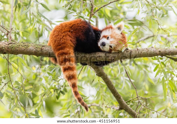 Red Panda, Firefox or Lesser Panda (Ailurus fulgens) resting in a tree
