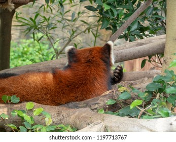 The Red Panda, Firefox or Lesser Panda (taxonomic name: Ailurus fulgens, shining cat)