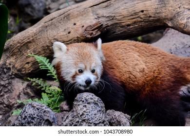 Red Panda Firefox Mammal Animal