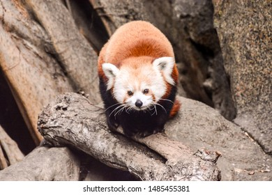 Red Panda Firefox Mammal Animal