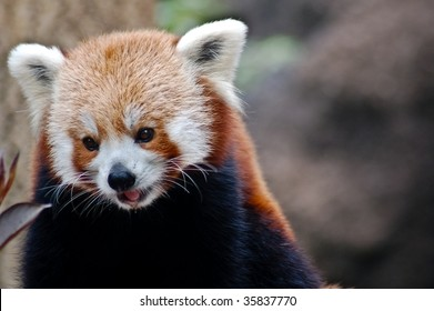 Red Panda / Fox Frontal Portrait