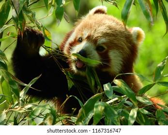 Red Panda grabbing leaves and having his tongue out