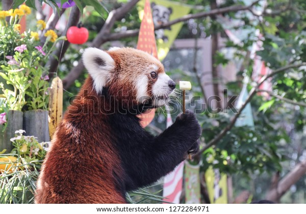 red-panda-holds-treat-paws-600w-12722849