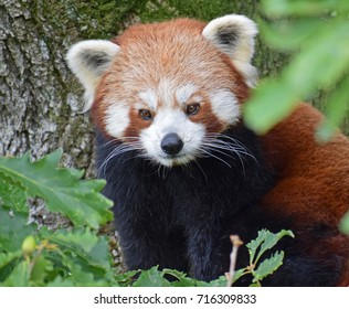 Red Panda - Lake District Wildlife Park