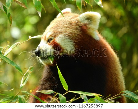 Red Panda with a leaf in his mouth, eating leaves