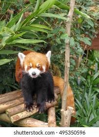 Red Panda or lesser panda (Ailurus fulgens)