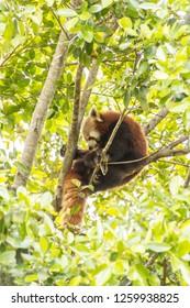 the red panda in its natural habitat, at australia zoo,