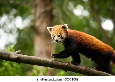 Red panda on a branch