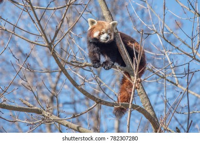 Red Panda on a tree