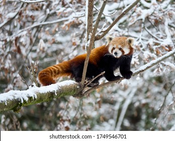Red panda on a tree in the winter forest