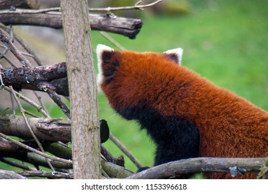 Red panda (or firefox) turning its back on the camera and looking the other way showing the red fur on its back