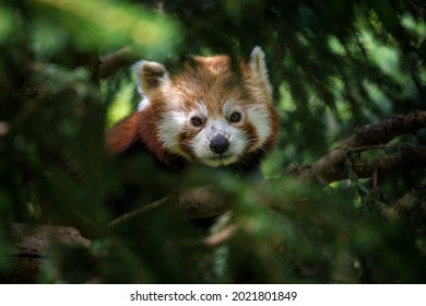 red panda portrait in the trees