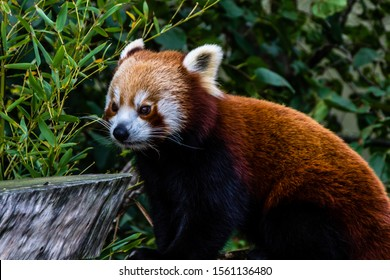 Red panda roams his are and plays in the tree. Auckland Zoo, Auckland, New Zeland