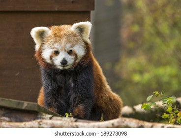 Red Panda in Scotland. This is a Red Panda within the Highland Wildlife Park, Kincraig, Scotland. So cuddly and timid.