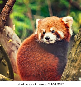 Red Panda sits on the tree in the park.