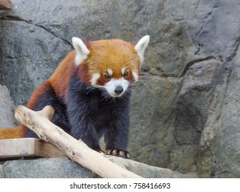 Red Panda. The red Panda is slightly larger than the cat. On the face of the figure as a mask. Conducts nocturnal, sleeping during the day. Red Panda has a good character.
