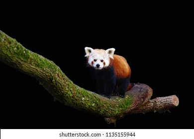 a red panda standing on a branch with a black background
