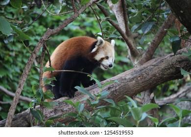 Red panda, Sydney, Australia