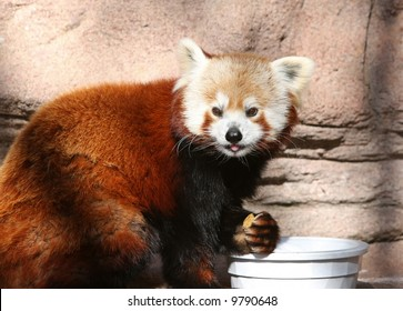 red panda with tongue out