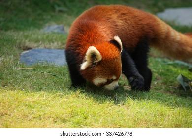 Red panda walking on grass at zoo
