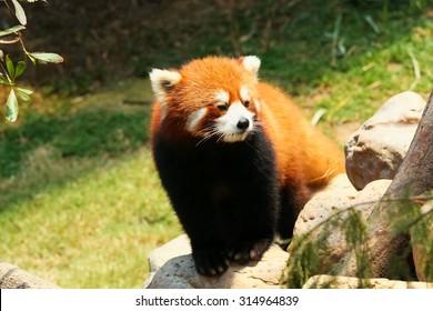 Red panda walking at zoo