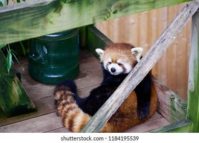 Red panda, zoo, comfortable, huggable, bear