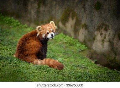 Red panda in a zoo. Red panda sitting on green moss at the bottom of a wall