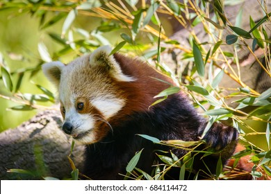 Red pandas have thick, dense fur and a long, bushy tail to keep them warm.The fur on the soles of their feet also prevents them from slipping on snow and ice