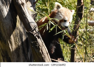 Red pande eating bamboo in a tree