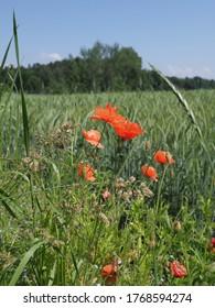 Rote Papaver Blumen in der europäischen Goczalkowice Stadt im schlesischen Bezirk in Polen, klaren blauen Himmel im Jahr 2020 warm sonnigen Frühlingstag im Juni - vertikal.