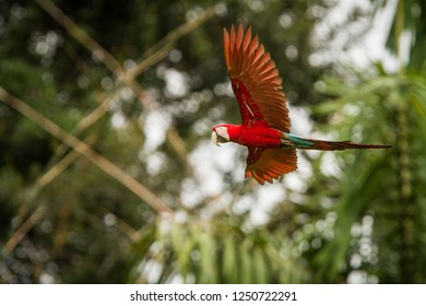 Red parrot in flight. Macaw flying, green vegetation in background. Red and green Macaw in tropical forest, Peru, Wildlife scene from tropical nature. Beautiful bird in the forest.
