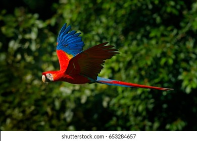 Red parrot in flight. Scarlet Macaw, Ara macao, in tropical forest, Costa Rica, Wildlife scene from tropical nature. Red bird in the forest.