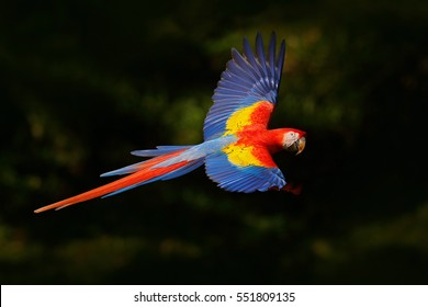 Red parrot flying in dark green vegetation. Scarlet Macaw, Ara macao, in tropical forest, Costa Rica. Wildlife scene from nature. Parrot in flight in the green jungle habitat.
