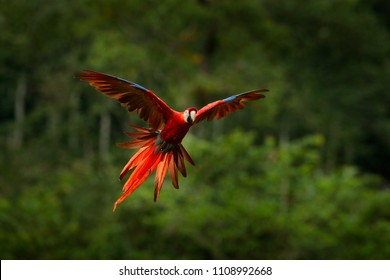 Red parrot in forest. Macaw parrot flying in dark green vegetation. Scarlet Macaw, Ara macao, in tropical forest, Panama. Wildlife scene from tropical nature.