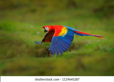 Red parrot in forest. Macaw parrot flying in dark green vegetation. Scarlet Macaw, Ara macao, in tropical forest, Costa Rica. Wildlife scene from tropical nature.