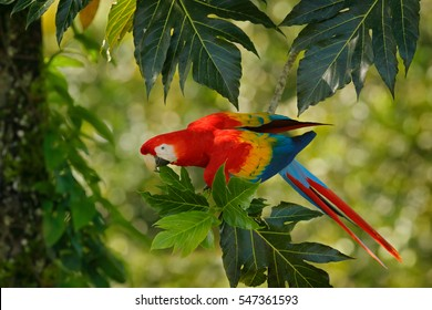 Red parrot in green vegetation. Scarlet Macaw, Ara macao, in dark green tropical forest, Costa Rica, Wildlife scene from nature. Red bird in the forest.