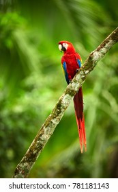 Red parrot in green vegetation. Scarlet Macaw, Ara macao, in tropical forest, Costa Rica. Red bird in the green forest.