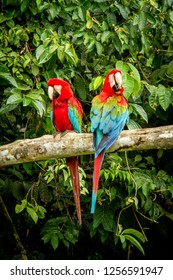 Red parrot in perching on branch, green vegetation in background. Red and green Macaw in tropical forest, Peru, Wildlife scene from tropical nature. Beautiful bird in the jungle.